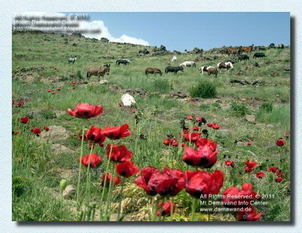 Damavand Poppy Fields Photo Iran