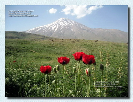 Damavand Poppy Fields